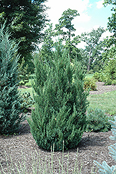 Blue Point Juniper (Juniperus chinensis 'Blue Point') at Weston Nurseries