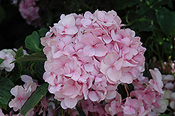 All Summer Beauty Hydrangea (Hydrangea macrophylla 'All Summer Beauty') at Weston Nurseries
