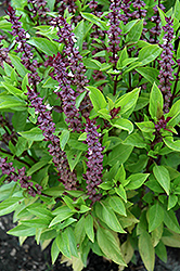 Queen Of Sheba Basil (Ocimum basilicum 'Queen Of Sheba') at Weston Nurseries