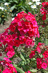 Red Flame Garden Phlox (Phlox paniculata 'Red Flame') at Weston Nurseries