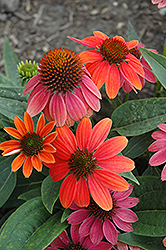 Sombrero® Hot Coral Coneflower (Echinacea 'Balsomcor') at Weston Nurseries