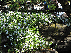 Mountain Sandwort (Arenaria montana) at Weston Nurseries