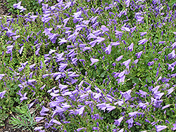 Birch Hybrid Bellflower (Campanula 'Birch Hybrid') at Weston Nurseries