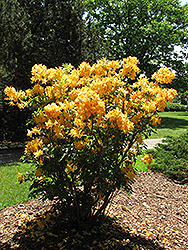 Golden Lights Azalea (Rhododendron 'Golden Lights') at Weston Nurseries