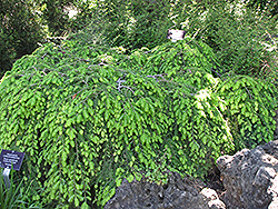 Cole's Prostrate Hemlock (Tsuga canadensis 'Cole's Prostrate') at Weston Nurseries