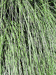 Yaku Jima Dwarf Maiden Grass (Miscanthus sinensis 'Yaku Jima') at Weston Nurseries