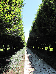 Pyramidal European Hornbeam (Carpinus betulus 'Fastigiata') at Weston Nurseries