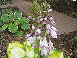 Dance With Me Hosta (Hosta 'Dance With Me') at Weston Nurseries