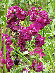 Stock (Matthiola incana) at Weston Nurseries