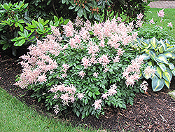 Peach Blossom Astilbe (Astilbe x rosea 'Peach Blossom') at Weston Nurseries
