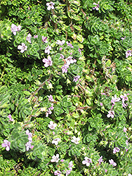 Pink Chintz Creeping Thyme (Thymus praecox 'Pink Chintz') at Weston Nurseries