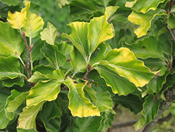 Rohan Gold Beech (Fagus sylvatica 'Rohan Gold') at Weston Nurseries