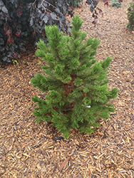 Compact Gem Bosnian Pine (Pinus heldreichii 'Compact Gem') at Weston Nurseries