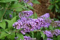 Lo And Behold® Blue Chip Dwarf Butterfly Bush (Buddleia 'Lo And Behold Blue Chip') at Weston Nurseries