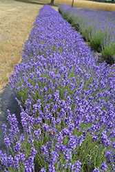 Hidcote Lavender (Lavandula angustifolia 'Hidcote') at Weston Nurseries
