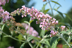 InSpired Pink® Butterfly Bush (Buddleia 'Pink Pagoda') at Weston Nurseries