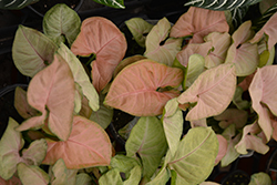 Regina Red Arrowhead Vine (Syngonium 'Regina Red') at Weston Nurseries