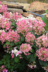 Little Quick Fire® Hydrangea (Hydrangea paniculata 'SMHPLQF') at Weston Nurseries