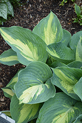Hudson Bay Hosta (Hosta 'Hudson Bay') at Weston Nurseries