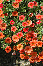 Superbells® Dreamsicle Calibrachoa (Calibrachoa 'Superbells Dreamsicle') at Weston Nurseries