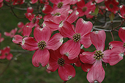 Cherokee Chief Flowering Dogwood (Cornus florida 'Cherokee Chief') at Weston Nurseries