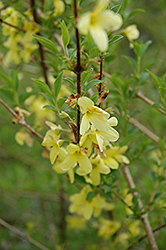 Weeping Forsythia (Forsythia suspensa) at Weston Nurseries