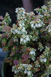Jelly Bean® Blueberry (Vaccinium 'ZF06-179') at Weston Nurseries