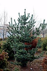 Cleary Japanese White Pine (Pinus parviflora 'Cleary') at Weston Nurseries