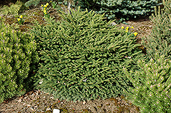 Sharpleaf Dwarf Norway Spruce (Picea abies 'Mucronata') at Weston Nurseries