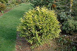 Golden Globe Arborvitae (Thuja occidentalis 'Golden Globe') at Weston Nurseries