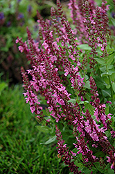 Sensation Deep Rose Meadow Sage (Salvia nemorosa 'Sensation Deep Rose') at Weston Nurseries
