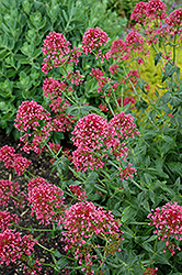 Red Valerian (Centranthus ruber 'Coccineus') at Weston Nurseries