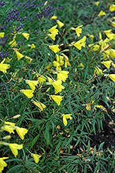 Lemon Drop Primrose (Oenothera 'Innoeno131') at Weston Nurseries