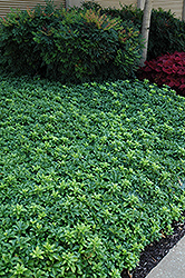 Green Sheen Japanese Spurge (Pachysandra terminalis 'Green Sheen') at Weston Nurseries