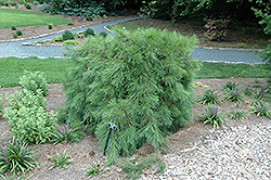 Weeping Japanese Red Pine (Pinus densiflora 'Pendula') at Weston Nurseries