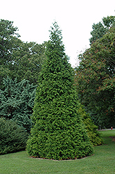 Green Giant Arborvitae (Thuja 'Green Giant') at Weston Nurseries