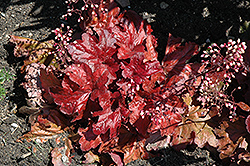 Fire Alarm Coral Bells (Heuchera 'Fire Alarm') at Weston Nurseries
