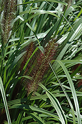 Red Head Fountain Grass (Pennisetum alopecuroides 'Red Head') at Weston Nurseries