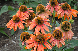 Sombrero® Adobe Orange Coneflower (Echinacea 'Balsomador') at Weston Nurseries