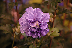 Blueberry Smoothie™ Rose of Sharon (Hibiscus syriacus 'DS01BS') at Weston Nurseries