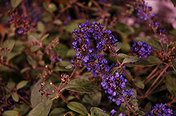 Lo And Behold® Blue Chip Junior Dwarf Butterfly Bush (Buddleia 'Lo And Behold Blue Chip Junior') at Weston Nurseries