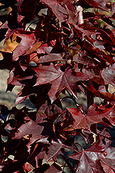 Crimson Sunset Maple (Acer 'JFS-KW202') at Weston Nurseries