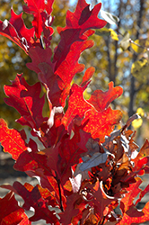 Crimson Spire Oak (Quercus 'Crimson Spire') at Weston Nurseries