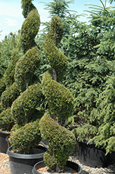 Emerald Green Arborvitae (spiral) (Thuja occidentalis 'Smaragd (spiral)') at Weston Nurseries