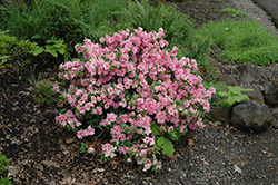 Gumpo Pink Azalea (Rhododendron 'Gumpo Pink') at Weston Nurseries