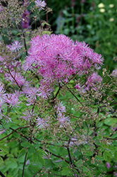 Black Stockings Meadow Rue (Thalictrum 'Black Stockings') at Weston Nurseries