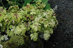 Golden Zebra Foamy Bells (Heucherella 'Golden Zebra') at Weston Nurseries