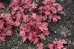 Fire Chief Coral Bells (Heuchera 'Fire Chief') at Weston Nurseries