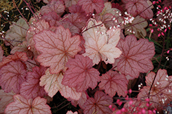 Georgia Peach Coral Bells (Heuchera 'Georgia Peach') at Weston Nurseries