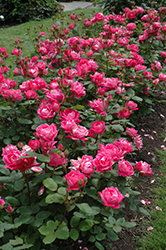 Double Knock Out® Rose (Rosa 'Radtko') at Weston Nurseries